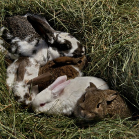 Save the only Icelandic rabbit farm